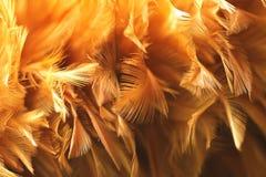 Piuma del pollo Immagini Stock