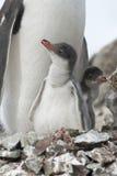 Piuma del pulcino del pinguino di Gentoo (Pygoscelis Papuasia). Fotografia Stock