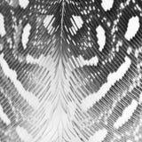 Piuma della gallina faraona Fotografia Stock Libera da Diritti