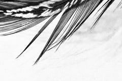 Piuma della gallina faraona Fotografie Stock Libere da Diritti