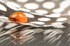 Piuma della gallina faraona con goccia di acqua arancio Fotografia Stock Libera da Diritti