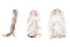 Piuma della piuma dello struzzo isolata su fondo bianco Immagine Stock
