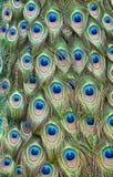 Piuma di coda del pavone Fotografia Stock Libera da Diritti