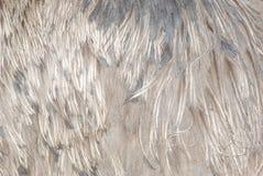Piuma di uccello dello struzzo Immagine Stock