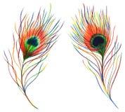 Piuma di uccello variopinta del pavone dell'arcobaleno di due paia isolata Immagini Stock