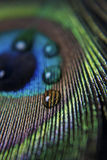 Piuma e goccioline del pavone Immagine Stock