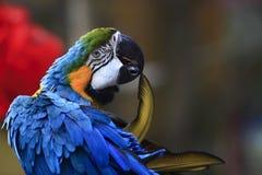 Piuma mordace del pappagallo giallo blu Fotografie Stock