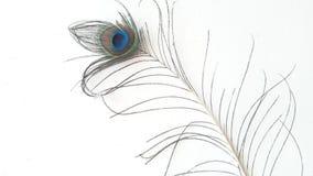 Piuma piena del pavone di bellezza con fondo bianco fotografia stock libera da diritti