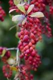 Piuma su alcune bacche di autunno Immagine Stock