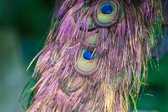 Piuma variopinta del pavone Fotografie Stock