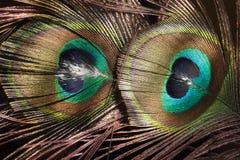 Piuma variopinta del pavone fotografia stock libera da diritti
