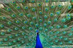 Piume aperte del pavone o del pavone Fotografie Stock