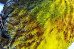 Piume colorate Yellowhammer Fotografie Stock Libere da Diritti