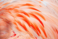 Piume del fenicottero Fotografie Stock