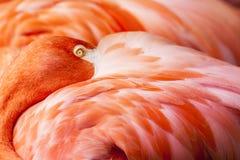 Piume del fenicottero - fondo rosa dell'uccello Fotografie Stock