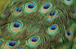 Piume del pavone Fotografia Stock