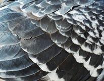 Piume del piccione Fotografia Stock