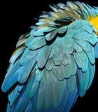 Piume dell'ara dell'oro e del blu Fotografia Stock