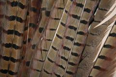 Piume di coda del fagiano Fotografia Stock