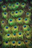 Piume di coda del pavone Fotografia Stock