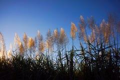 Piume di fioritura di Sugar Cane Fotografie Stock Libere da Diritti