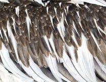 Piume di giovane pellicano Fotografia Stock Libera da Diritti