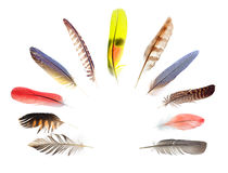 Piume di penna della raccolta degli uccelli Immagine Stock