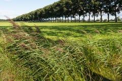 Piume di Reed che soffiano nel vento Immagini Stock