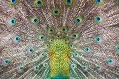 Piume di un pavone Fotografia Stock