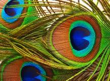 Piume di una fine del pavone in su Fotografia Stock Libera da Diritti