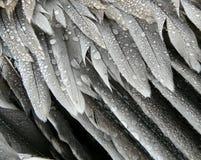 Piume grige dei pellicani Fotografie Stock Libere da Diritti