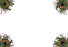 Piume Iridescent del pavone fotografia stock