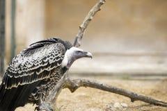 Piume laterali di punto di vista dell'avvoltoio Immagini Stock Libere da Diritti