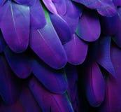 Piume porpora e blu Fotografia Stock