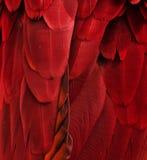 Piume rosse dell'ara Fotografia Stock