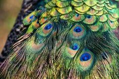 Piume variopinte del pavone Fotografia Stock Libera da Diritti