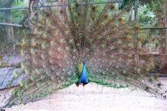 Piume variopinte in espansione un pavone Fotografia Stock Libera da Diritti