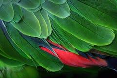 Piume verdi del pappagallo Immagine Stock