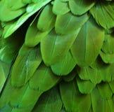 Piume verdi dell'ara Fotografie Stock