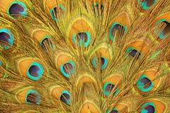 Piume verdi e blu del pavone Fotografia Stock