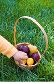 Piums amarillos y púrpuras frescos en la cesta con la mano de los childs en el fondo de la hierba verde Fruta estacional rusa org fotografía de archivo