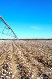 Pivô sobre o campo do algodão pronto para colher Imagens de Stock