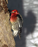 Pivert à gorge rouge de Sapsucker Images stock