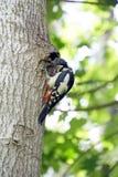 Pivert à son nid après alimentation des poussins Photographie stock libre de droits