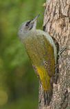 pivert à tête grise (canus de Picus) photographie stock libre de droits