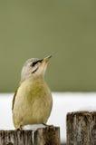 pivert à tête grise se reposant sur la barrière neigeuse Photo libre de droits