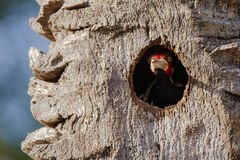 Pivert Cramoisi-crêté masculin gardant le nid d'arbre Image stock