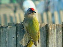 Pivert d'oiseau dans la faune Photo stock