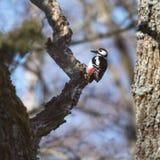 Pivert dans un arbre photo stock