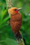 pivert de couleur châtaigne, castaneus de Celeus, oiseau de pâté de cochon avec le visage rouge de Costa Rica photographie stock libre de droits